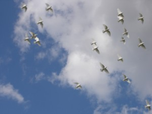Released doves flying overhead in the clouds
